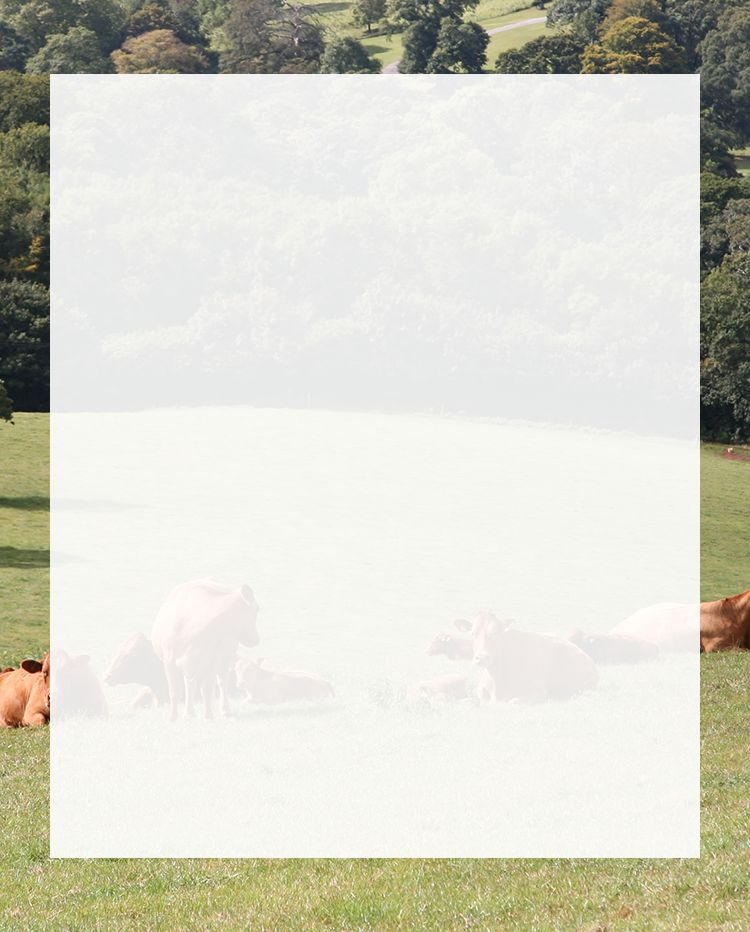 Brown cows Laying down in a field