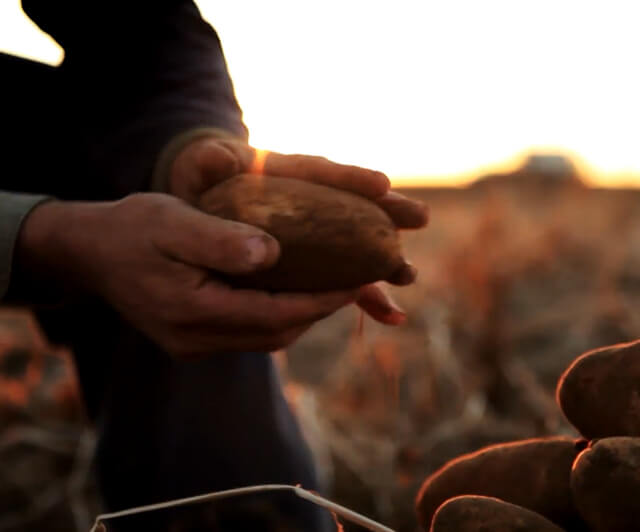 A pair of hands picking up potatoes in a field
